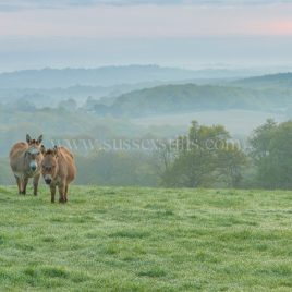 Donkeys At Dawn