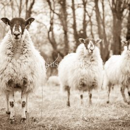 Sheep – Looking At You