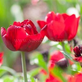 Tulip 'Uncle Tom'