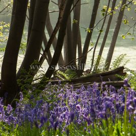 Bluebells Under Chestnut Coppice