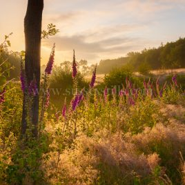 Foxgloves At Dawn