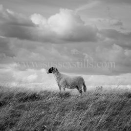 Sheep, black and white greeting card by Nicky Flint