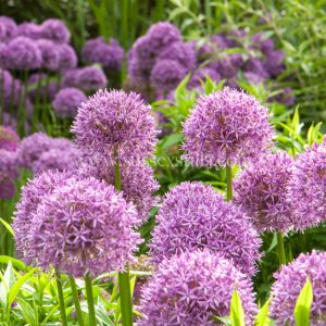 Alliums, greeting card by Nicky Flint