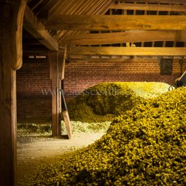 Hops In Traditional Oast