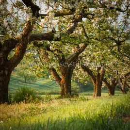 Traditional Orchard In Spring