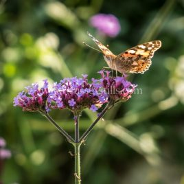 Painted Lady and Verbena bonariensis, greeting card by Nicky Flint