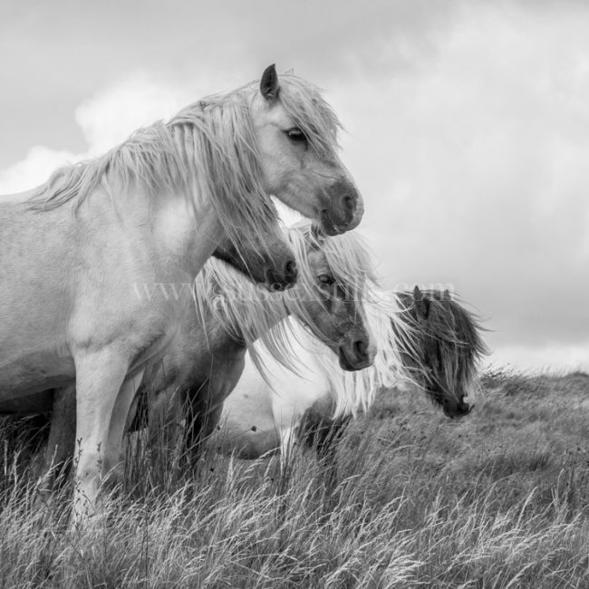 Wild Welsh Ponies, greeting card by Nicky Flint