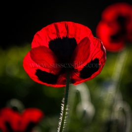 Papaver, red poppy greeting card by Nicky Flint