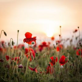 Poppies At First Light