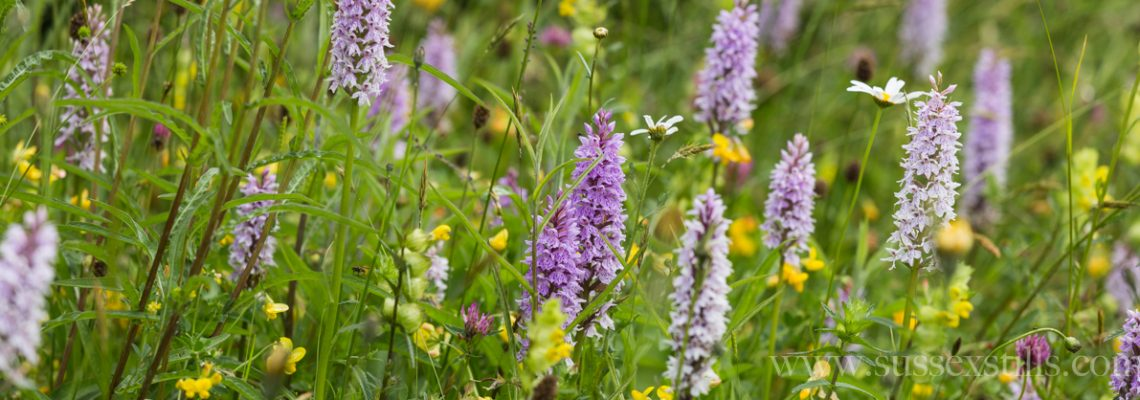 Common Spotted Orchids at Great Dixter, photo by Nicky Flint