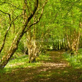 Dappled Shade under hornbeam coppice, greeting card by Nicky Flint