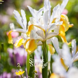 Dutch Iris 'Apollo' greeting card by Nicky Flint