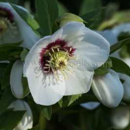 Helleborus x hybridus greeting card by Nicky Flint