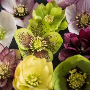 Hellebore greeting card by Nicky Flint