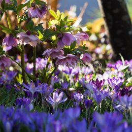 Spring Symphony, hellebore and crocus greeting card by Nicky Flint