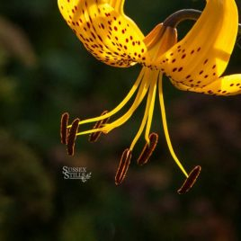 Yellow Tiger Lily greeting card by Nicky Flint