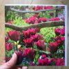 Tulip 'Merlot' greeting card by Nicky Flint