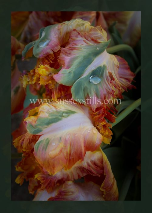 Tulip 'Apricot Parrot' greeting card by Nicky Flint