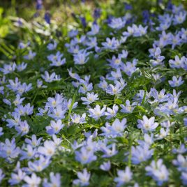Anemone nemorosa 'Robinsoniana' greeting card by Nicky Flint