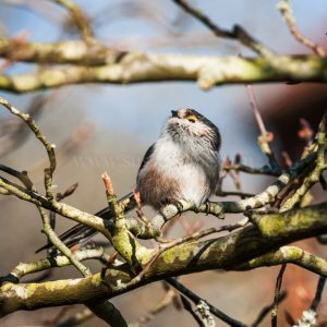 Long-tailed Tit greeting card by Nicky Flint