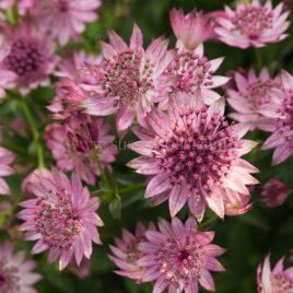 Astrantia 'Roma', greeting card by Nicky Flint 1