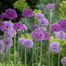 Alliums greeting card by Nicky Flint 2
