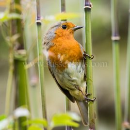 Robin greeting card by Nicky Flint 2