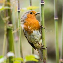 Robin greeting card by Nicky Flint 2