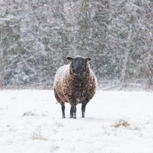 Sheep In Snow greeting card by Nicky Flint 1