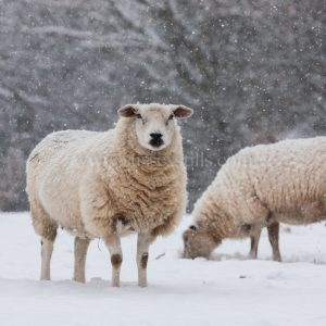 Sheep In Snow greeting card by Nicky Flint 4