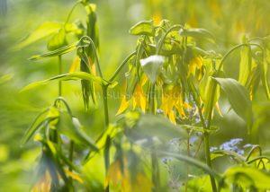 Uvularia grandiflora greeting card by Nicky Flint 2