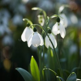 February Snowdrops greeting card by Nicky Flint 3