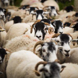 Swaledale Sheep greeting card by Nicky Flint 3